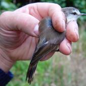 Chatham Island warbler. Adult in hand. Rangatira Island, February 2009. Image © Graeme Taylor by Graeme Taylor