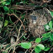 Chatham Island warbler. Adult on nest. Mangere Island, Chatham Islands, December 1982. Image © Department of Conservation (image ref: 10047974) by Dave Crouchley, Department of Conservation Courtesy of Department of Conservation