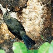 Bellbird. Fledgling feeding on exuding sap at tree base. Kapiti Island, February 1998. Image © Alex Scott by Alex Scott