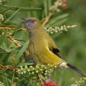Bellbird. Male singing on bottlebrush. Riversdale,  Wairarapa, October 2007. Image © Peter Reese by Peter Reese