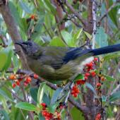 Bellbird. Adult male by Coprosma berries. Quail Island. Image © James Mortimer by James Mortimer