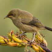 Bellbird. Juvenile. Dunedin, January 2014. Image © Craig McKenzie by Craig McKenzie