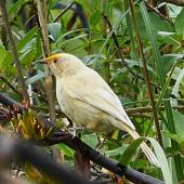 Bellbird. Leucistic female with flax pollen on its forehead. Kaituna estuary, Havelock, Marlborough Sounds, November 2020. Image © Andrew Mackenzie by Andrew Mackenzie