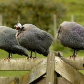 Helmeted guineafowl. Perching adults, two with heads hidden. North Auckland, December 2010. Image © Eugene Polkan by Eugene Polkan