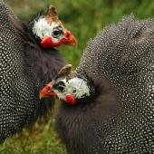 Helmeted guineafowl. Adults in captivity showing head details. Whanganui, August 2010. Image © Ormond Torr by Ormond Torr
