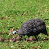 Helmeted guineafowl. Adult with young chicks. Kirstenbosch Botanical Gardens, Cape Town, South Africa, October 2015. Image © Geoff de Lisle by Geoff de Lisle