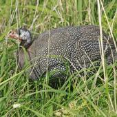 Helmeted guineafowl. Adult. Whanganui, April 2013. Image © Paul Gibson by Paul Gibson