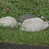 Helmeted guineafowl. Semi-feral adults. Whanganui, April 2013. Image © Paul Gibson by Paul Gibson