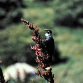 Tui. Adult Chatham Island tui showing large throat tufts. Rangatira Island, Chatham Islands, January 1984. Image © Colin Miskelly by Colin Miskelly