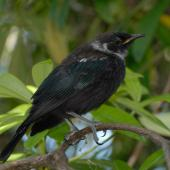 Tui. Newly fledged juvenile. Wellington, December 2012. Image © Peter Reese by Peter Reese