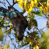 Tui. Adult feeding upside down in kowhai. Tawa, Wellington, October 2006. Image © Ian Armitage by Ian Armitage