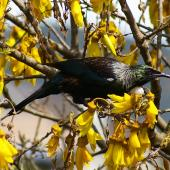 Tui. Adult perched in kowhai. Tawa, Wellington, October 2007. Image © Ian Armitage by Ian Armitage