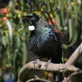 Tui. Adult singing. Wanganui, July 2009. Image © Ormond Torr by Ormond Torr