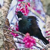 Tui. Adult vocalising with feathers fluffed out. Te Puke, August 2012. Image © Raewyn Adams by Raewyn Adams