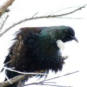 Tui. Adult male with feathers fluffed out. Kerikeri, October 2012. Image © Thomas Musson by Thomas Musson tomandelaine@xtra.co.nz