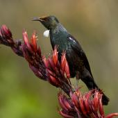 Tui. Adult. Pureora, January 2006. Image © Neil Fitzgerald by Neil Fitzgerald www.neilfitzgeraldphoto.co.nz