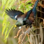 Tui. Adult in tree fern (note kaka-beak pollen on forehead). Palmerston North, September 2011. Image © Alex Scott by Alex Scott