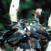 Tui. Adults at sugar water feeder. Little Barrier Island, March 1987. Image © Alan Tennyson by Alan Tennyson Alan Tennyson