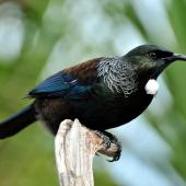 Tui. Adult. Tiritiri Matangi Island, April 2010. Image © Cheryl Marriner by Cheryl Marriner http://www.glen.co.nz/cheryl