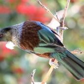Tui. Adult showing back. Havelock North, April 2009. Image © Dick Porter by Dick Porter