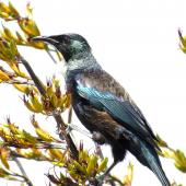 Tui. Adult. Matakohe, November 2012. Image © Thomas Musson by Thomas Musson tomandelaine@xtra.co.nz