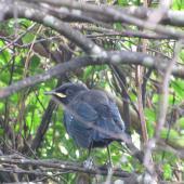Tui. Juvenile. Kapiti Island, January 2010. Image © Sarah Jamieson by Sarah Jamieson