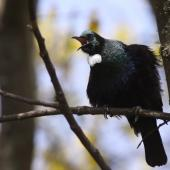 Tui. Adult singing. Lake Taupo, October 2009. Image © Jenny Atkins by Jenny Atkins www.jennifer-m-pics.ifp3.com