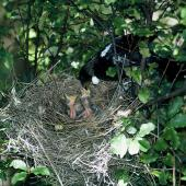Tui. Adult feeding chicks in nest. Taranga / Hen Island, November 1965. Image © Department of Conservation (image ref: 10044971) by Don Merton, Department of Conservation Courtesy of Department of Conservation