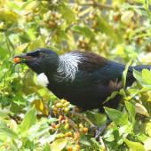 Tui. Adult feeding on berries. Raoul Island, Kermadec Islands. Image © Gareth Rapley by Gareth Rapley