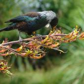 Tui. Adult feeding on flax nectar. Karori Sanctuary / Zealandia, December 2007. Image © Department of Conservation (image ref: 10065314) by Danica Devery-Smith, Department of Conservation Courtesy of Department of Conservation