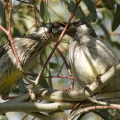 Red wattlebird. Adult feeding a fledgling. Canberra, Australia., September 2016. Image © RM by RM
