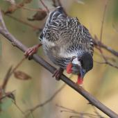 Red wattlebird. Adult. Canberra, Australia, April 2016. Image © RM by RM