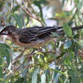 Red wattlebird. Adult (woodwardi subspecies). Herdsman Lake, January 2016. Image © Duncan Watson by Duncan Watson