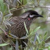 Red wattlebird. Portrait showing wattles. Melbourne, Victoria, Australia, September 2007. Image © Sonja Ross by Sonja Ross
