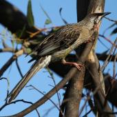 Red wattlebird. Adult. Esperance, Western Australia, September 2013. Image © Roger Smith by Roger Smith