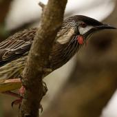 Red wattlebird. Adult. Perth, April 2016. Image © Imogen Warren by Imogen Warren