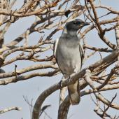 Black-faced cuckoo-shrike. Adult. Kakadu, Northern Territory, July 2012. Image © Dick Porter by Dick Porter