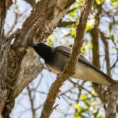 Black-faced cuckoo-shrike. Adult. Caloundra,  Queensland,  Australia, October 2014. Image © Roger Smith by Roger Smith