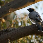 Black-faced cuckoo-shrike. Adult beside nest. Canberra, Australia, October 2015. Image © RM by RM