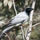 Black-faced cuckoo-shrike. Adult. Canberra, October 2016. Image © RM by RM