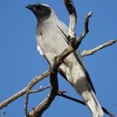 Black-faced cuckoo-shrike. Adult (recently arrived from migration). Canberra, Australia, September 2015. Image © RM by RM