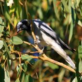 Black-faced cuckoo-shrike. Adult. Perth, April 2016. Image © Imogen Warren by Imogen Warren