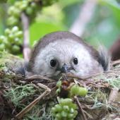 Whitehead. Adult on nest. Motuora Island, Hauraki Gulf, December 2014. Image © Yvonne Sprey by Yvonne Sprey