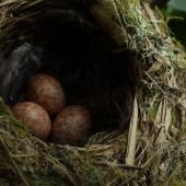 Whitehead. Three eggs in nest. Motuora Island, Hauraki Gulf, December 2014. Image © Yvonne Sprey by Yvonne Sprey