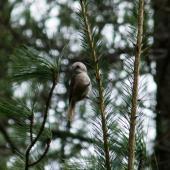 Whitehead. Male, on Pinus nigra. Iwitahi Native Orchid Heritage Protection Area, October 2012. Image © Joke Baars by Joke Baars