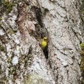 Yellowhead. Adult male at entrance to nest. Routeburn Flats, Mt Aspiring National Park, December 2015. Image © Ron Enzler by Ron Enzler http://www.therouteburntrack.com