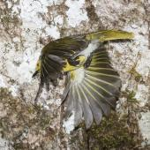 Yellowhead. Adult male in flight after leaving nest entrance. Routeburn Flats, Mt Aspiring National Park, December 2015. Image © Ron Enzler by Ron Enzler http://www.therouteburntrack.com