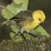 Yellowhead. Adult male feeding in ribbonwood tree. Routeburn Flats, Mt Aspiring National Park, April 2016. Image © Ron Enzler by Ron Enzler http://www.therouteburntrack.com