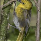 Yellowhead. Adult female on side of ribbonwood tree. Routeburn Flats, Mt Aspiring National Park, April 2016. Image © Ron Enzler by Ron Enzler http://www.therouteburntrack.com