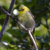 Yellowhead. Just fledged juvenile. Ulva Island, Stewart Island, January 2012. Image © Peter Tait by Peter Tait Courtesy Peter Tait http://www.sailsashore.co.nz, tait@sailsashore.co.nz